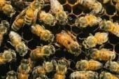 E le api continuano a scomparire