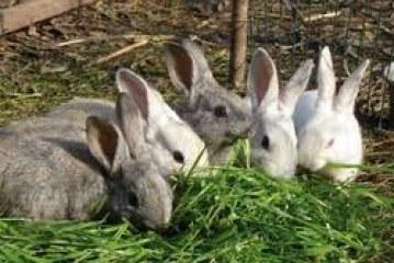 Coniglio bio: la nota del Mipaaf
