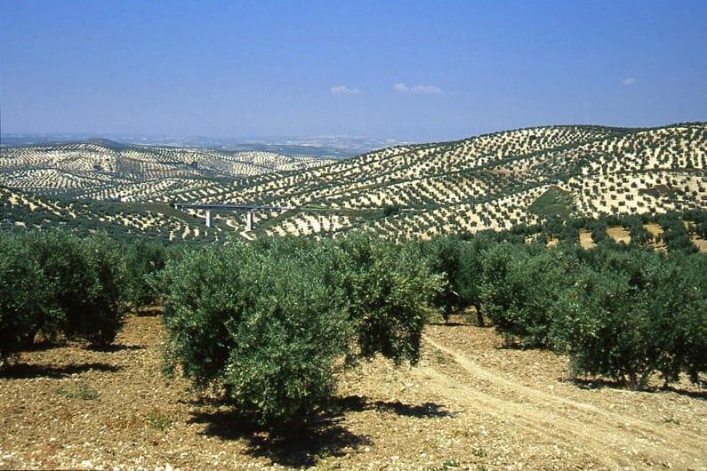 ulivi e vigne