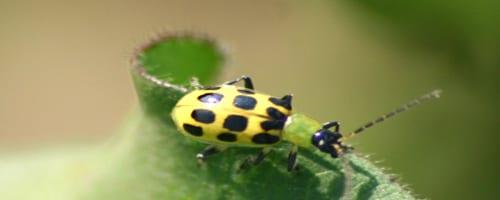 scarafaggio ss