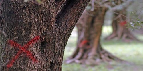 Una croce di colore rosso tracciata su alcuni ulivi infettati dalla 'Xylella fastidiosa', il batterio che sta decimando gli ulivi del Salento, Brindisi, 24 marzo 2015. ANSA/ MAX FRIGIONE