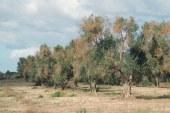 FederBio, AIAB e WWF: agricoltura biologica è l'unica soluzione per fermare Xylella