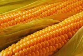 Parlamento Ue boccia l'importazione di tre tipologie di semi OGM