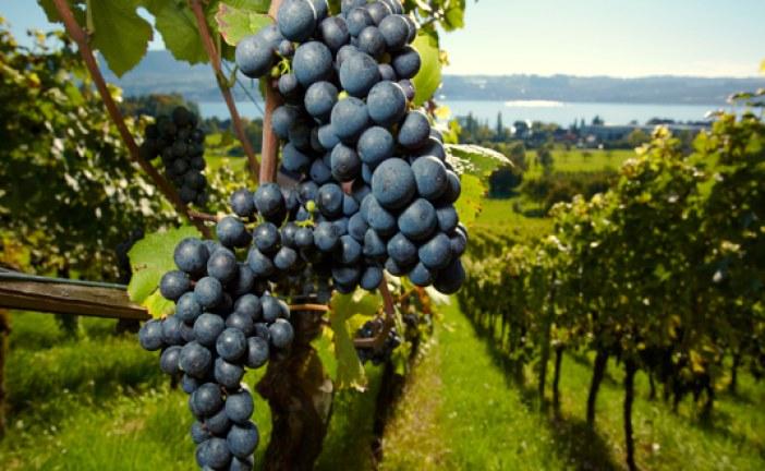 Vino biologico sempre più apprezzato dai consumatori italiani