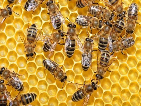 I pesticidi neonicotinoidi uccidono il 40% dello sperma delle api. Lo studio