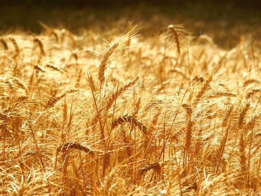 Crolla il prezzo del frumento, ma il biologico certificato traina il settore