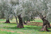Emergenza Xylella: la Commissione Ue pronta a sanzioni contro l'Italia