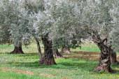 Fs 17: scoperta una nuova cultivar di olivo resistente a Xylella