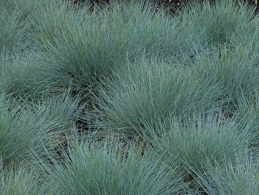 Festuca: la soluzione che salverà le colture da freddo e siccità?