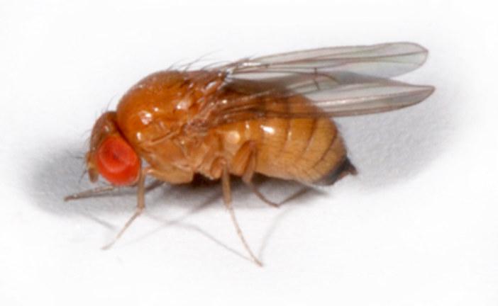 Drosophila suzukii: la soluzione più efficace dalla lotta biologica