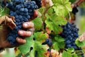 """Il vino bio unico """"vincitore"""" della vendemmia 2017"""