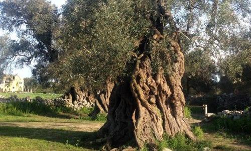 Bandi Psr Puglia: in arrivo due bandi da 42 milioni per il reimpianto degli ulivi