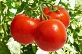 Filiera del pomodoro e tracciabilità: il Mipaaf convoca tavolo di confronto