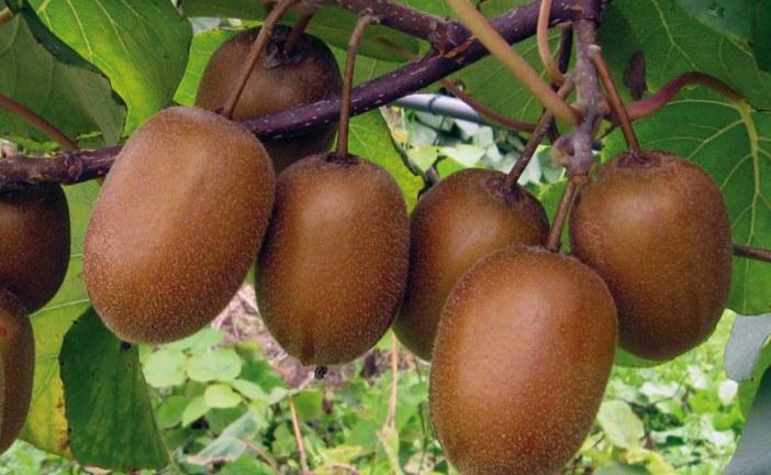 Incontro tecnico sulla coltivazione kiwi biologico