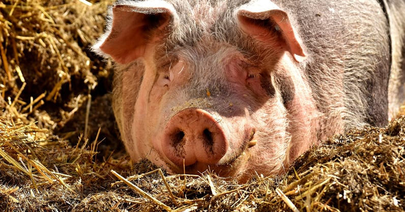 Lanciato nuovo progetto per gli allevamenti suini e di pollame  a favore dell'utilizzo di alimentazioni 100%  biologiche e regionali