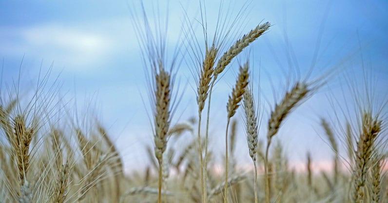 Il monopolio del grano Senatore Cappelli
