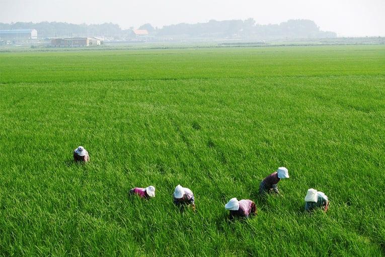 Obbligo di tracciabilità per il riso biologico