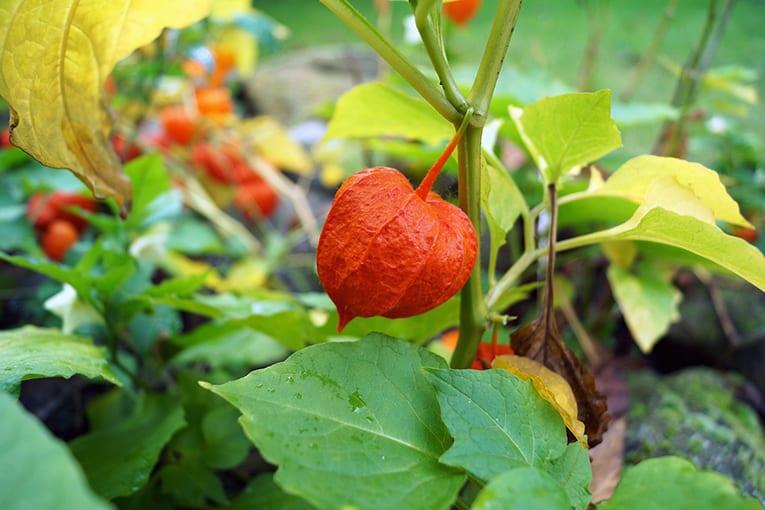 Suolo e Salute certifica il primo Alkekengi coltivato in Italia