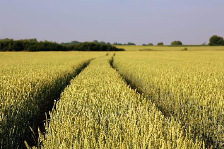 A rischio la produzione di frumento biologico