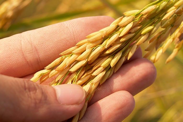 La Ricerca Partecipata in Agricoltura Biologica: parliamo di Riso