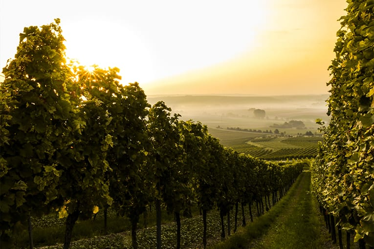 Calabria: il 51% delle vigne è biologico