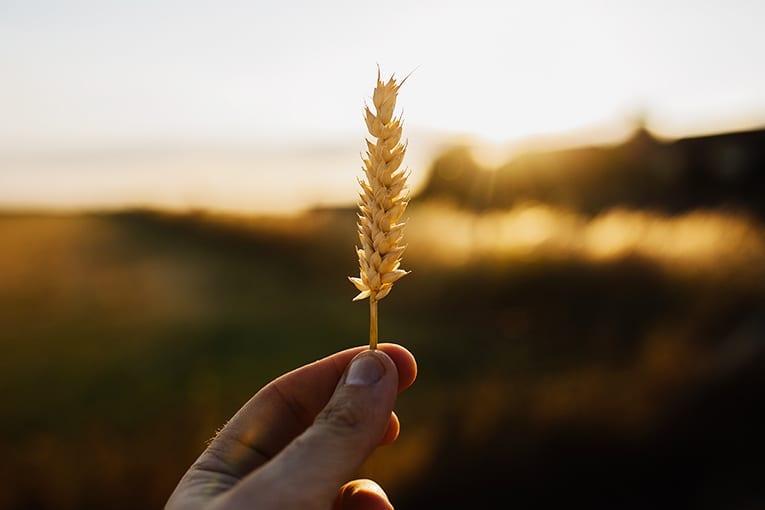 Puglia: deroga per le rotazioni colturali del grano duro bio