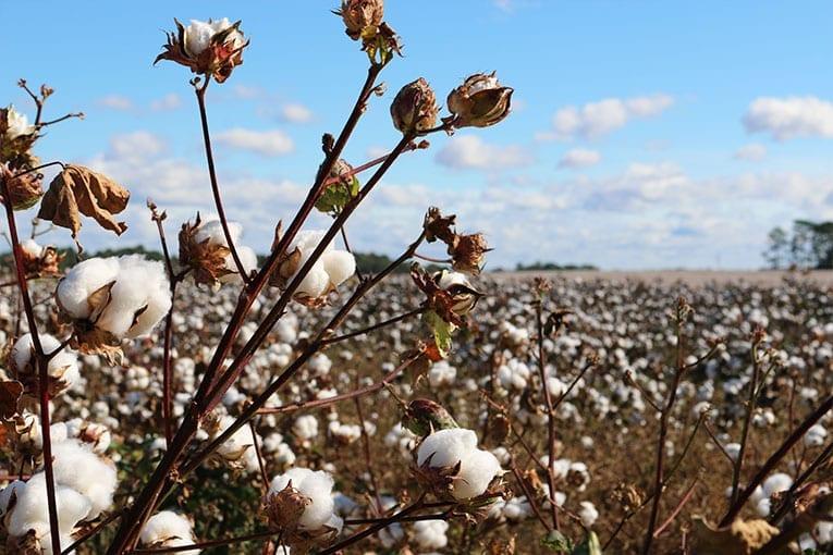 Cotone biologico vs cotone OGM