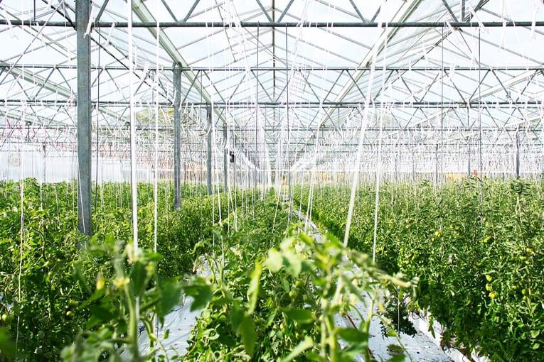 Serre per la produzione biologica nel deserto del Qatar